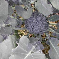 broccoli0706sm